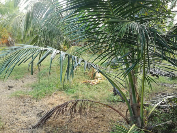 coconut-land-for-sale-in-palai-big-3