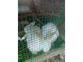 rabbit-for-sale-in-mallavi-small-0