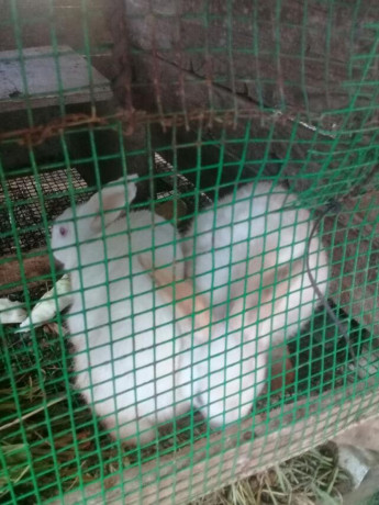 rabbit-for-sale-in-mallavi-big-0