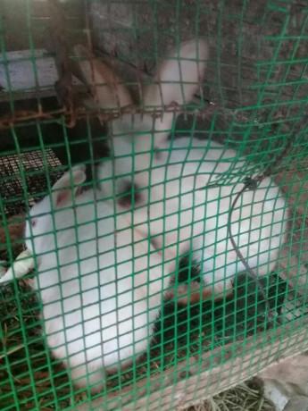 rabbit-for-sale-in-mallavi-big-1