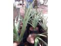 aloevera-for-sale-in-jaffna-small-3