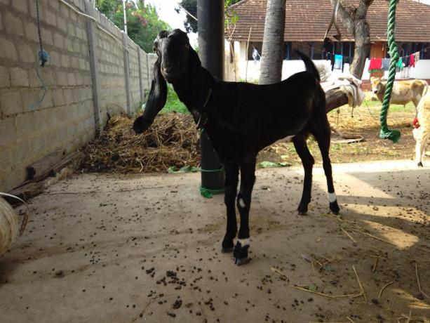 goats-for-sale-in-jaffna-big-2