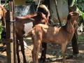 goats-for-sale-in-jaffna-small-4