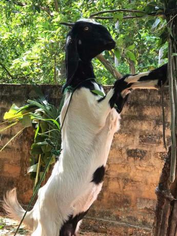 goats-for-sale-in-jaffna-big-3