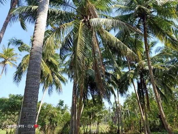 coconut-land-for-sale-in-kodikamam-big-1