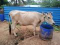 cow-sale-in-jaffna-kuppilan-small-1