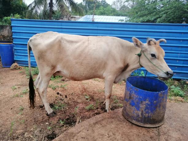cow-sale-in-jaffna-kuppilan-big-1