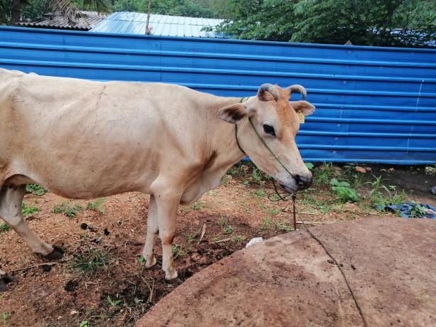 cow-sale-in-jaffna-kuppilan-big-0