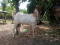 two-goats-for-sale-small-2