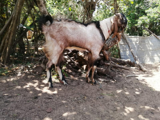 two-goats-for-sale-big-3