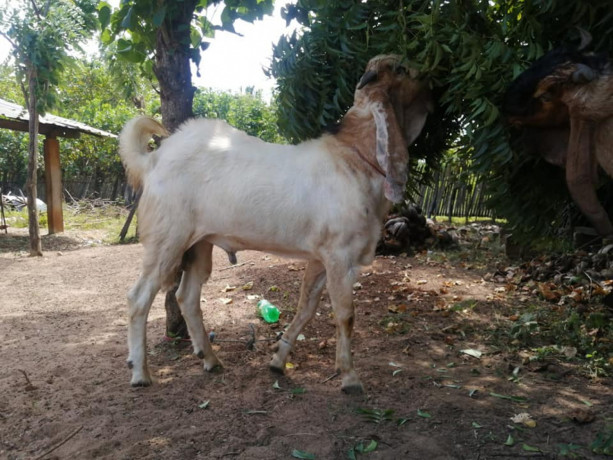 two-goats-for-sale-big-2