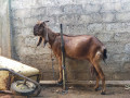 goats-for-sale-in-jaffna-small-0