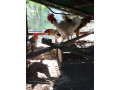 country-hen-sale-in-jaffna-small-0