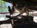 country-hen-sale-in-jaffna-small-2