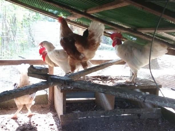 country-hen-sale-in-jaffna-big-1