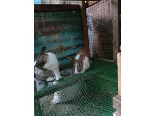 Rabbit for sale in Jaffna