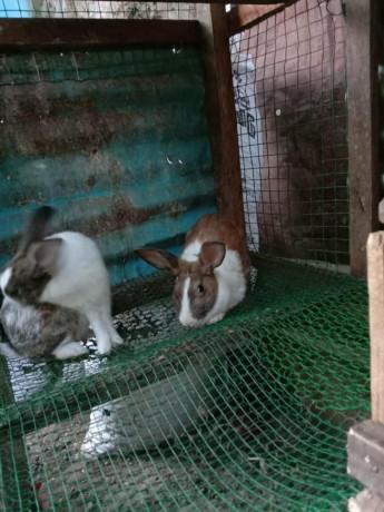 rabbit-for-sale-in-jaffna-big-0