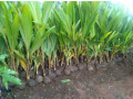 coconut-tree-plant-for-sale-small-0