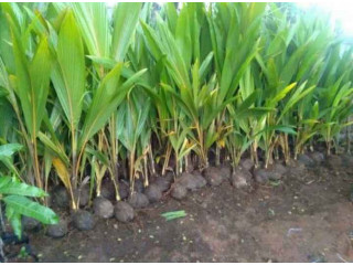 Coconut tree Plant for sale