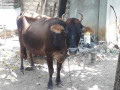 cow-sale-in-jaffna-small-1