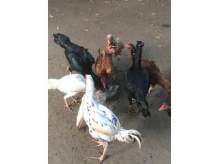 Velladiyan hen for sale