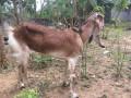 goats-for-sale-in-jaffna-tholpuram-small-1