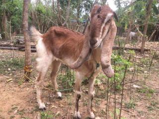 Goats for sale in jaffna Tholpuram