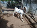 goats-for-sale-in-jaffna-small-1