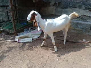 Goats for sale in jaffna