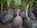 coconut-tree-plant-for-sale-in-jaffna-small-2