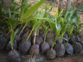 coconut-tree-plant-for-sale-in-jaffna-small-0