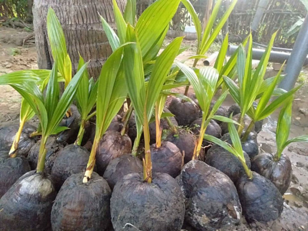 coconut-tree-plant-for-sale-in-jaffna-big-1