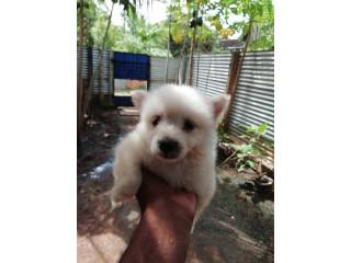 Pomeranian dogs for sale in Jaffna