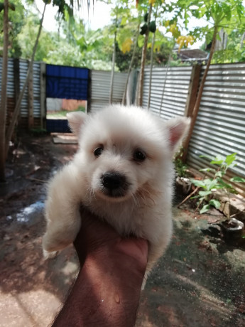 pomeranian-dogs-for-sale-in-jaffna-big-0