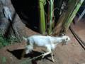 sanan-goat-for-sale-in-jaffna-small-2