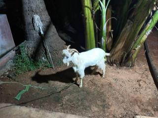 Sanan goat for sale in jaffna