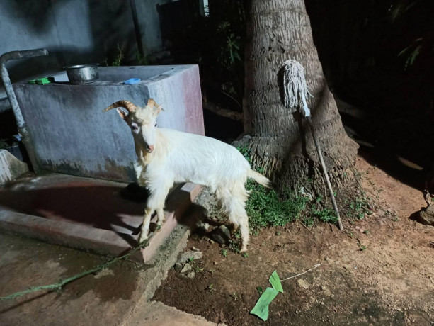 sanan-goat-for-sale-in-jaffna-big-3