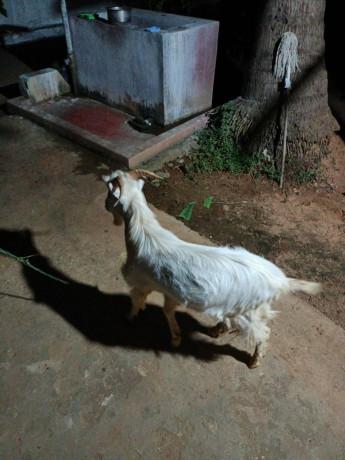 sanan-goat-for-sale-in-jaffna-big-1