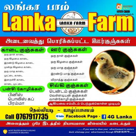 chickens-for-sale-in-nelliyady-big-0