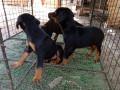 doberman-puppy-sale-in-jaffna-small-1