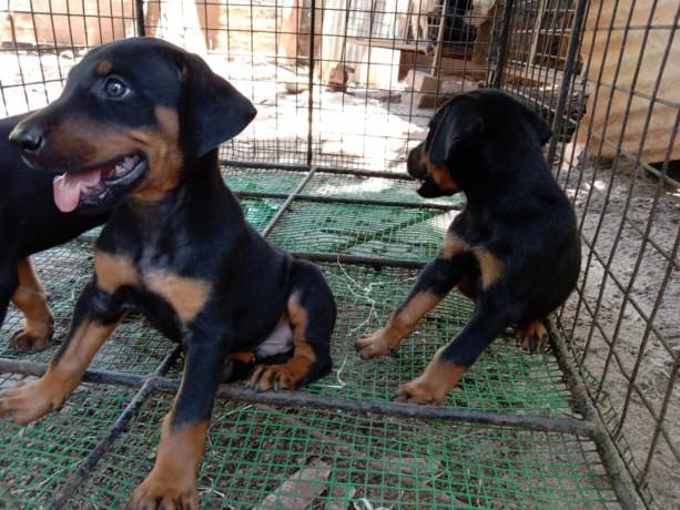 doberman-puppy-sale-in-jaffna-big-0