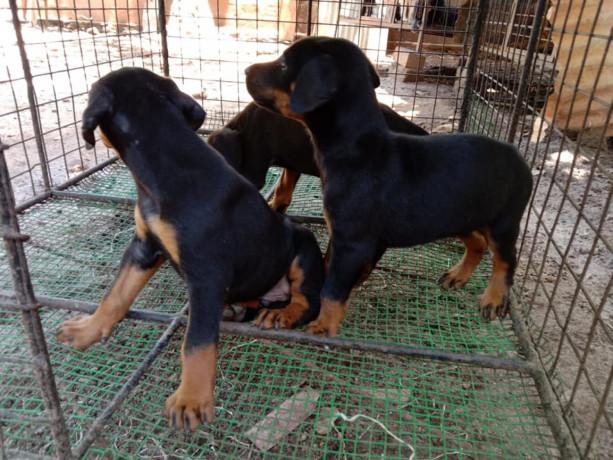 doberman-puppy-sale-in-jaffna-big-1