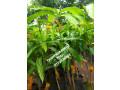 pavesharu-poonganishsoolai-plants-for-sale-jaffna-small-4