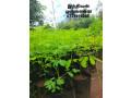 pavesharu-poonganishsoolai-plants-for-sale-jaffna-small-3