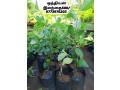 pavesharu-poonganishsoolai-plants-for-sale-jaffna-small-0