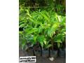 pavesharu-poonganishsoolai-plants-for-sale-jaffna-small-1