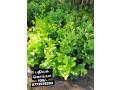 pavesharu-poonganishsoolai-plants-for-sale-jaffna-small-2