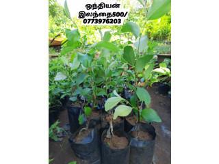 Pavesharu PoonganishSoolai plants for sale jaffna