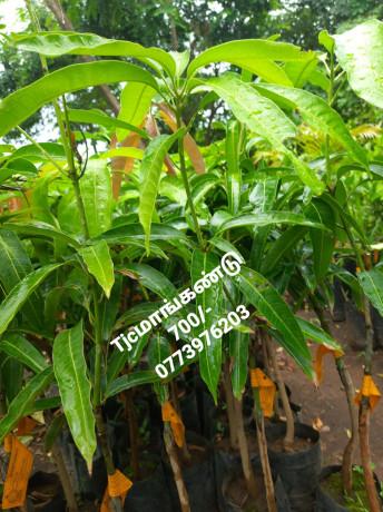 pavesharu-poonganishsoolai-plants-for-sale-jaffna-big-4