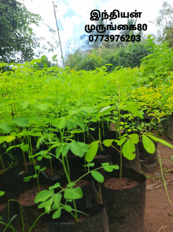pavesharu-poonganishsoolai-plants-for-sale-jaffna-big-3